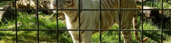 Le tigre blanc du zoo de Bordeaux-Pessac (Photo Benou33/flickr/CC)