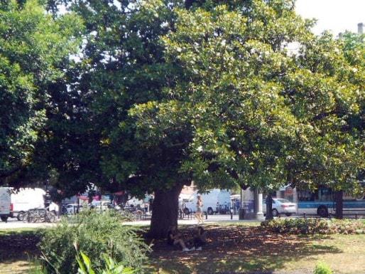 Le magnolia centenaire de la place Gambetta devra être préservé. (ML/Rue89 Bordeaux)