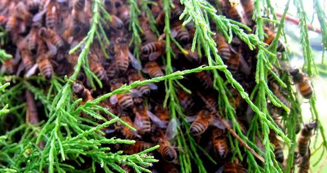 Néonicotinoïdes : un Girondin parmi les «sénatueurs d'abeilles»