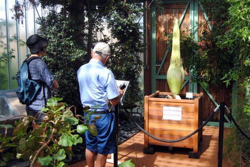 """L'Arum titan, Amorphophallus titanum, également appelé le """"phallus de titan"""", dans la serre du Jardin botanique à Bordeaux (WS/Rue89 Bordeaux)"""