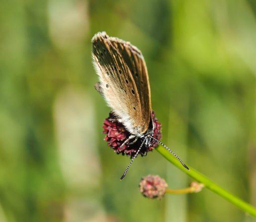 Le papillon azuré de la sanguisorbe (Take Time/flickr/CC)