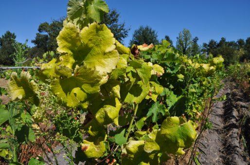 La flavescence dorée, jaunisse de la vigne (Xavier Ridon/Rue89 Bordeaux)