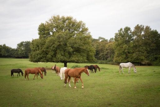 Les chevaux du parc de La Burthe à Floirac (GPV)