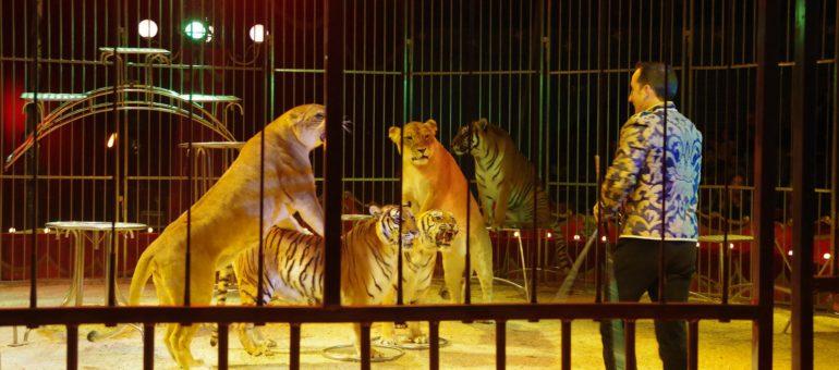Pessac bannit les cirques avec animaux sauvages