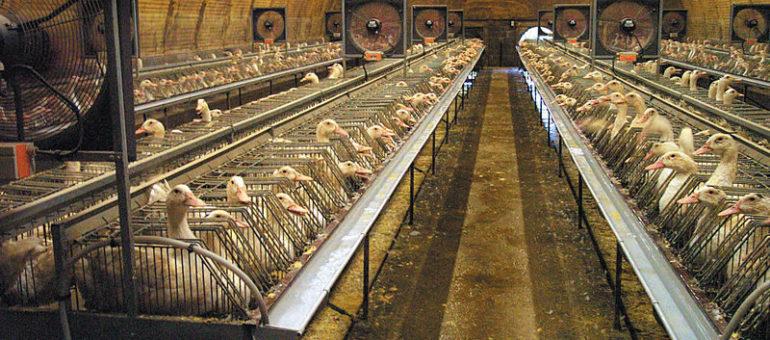 Grippe aviaire : le foie gras du Sud-Ouest, malade de l'agro-industrie ?