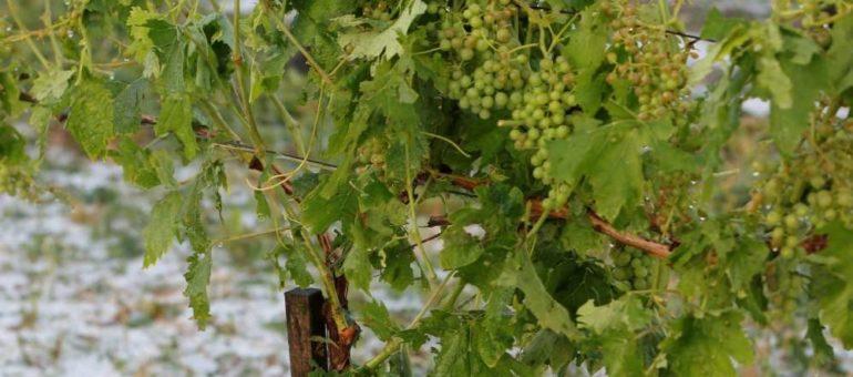L'orage de grêle détruit plus de 7000 hectares de vignes