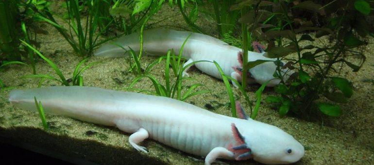 Des axolotls, «monstres d'eau», aperçus au Jardin botanique de Bordeaux