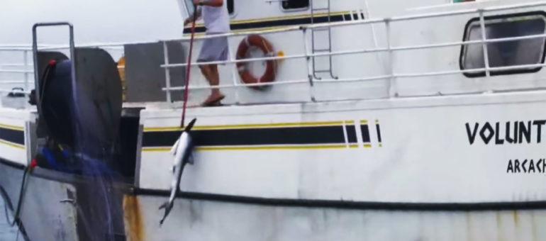49 requins capturés : «Voluntas Dei» à nouveau dénoncé par Sea Shepherd