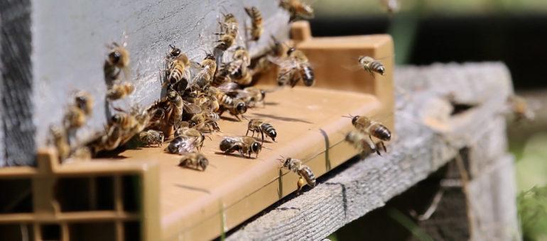 Le retour des insecticides «tueurs d'abeilles», une «décision folle»