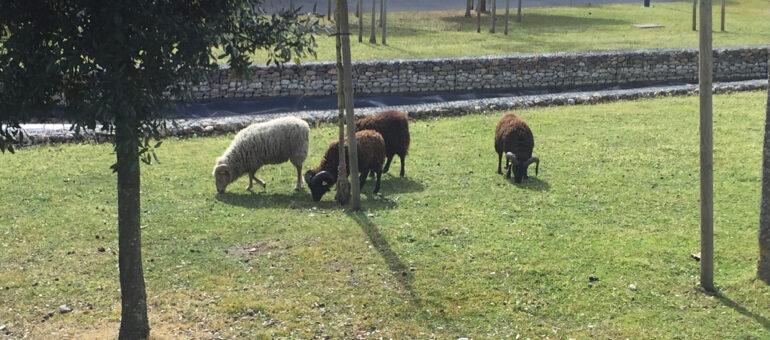 Des moutons comme tondeuses écolos, l'éco-pâturage pousse en Gironde